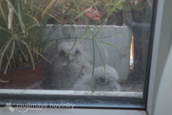 Sokol Myšiak na okne v Bratislave v paneláku