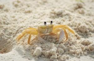 krab v piesku na pláži