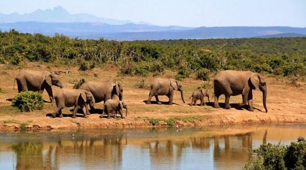 Africké slony
