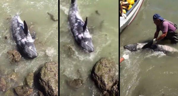 Sviňucha a záchrana delfín