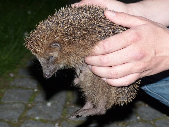 Záchrana ježkov