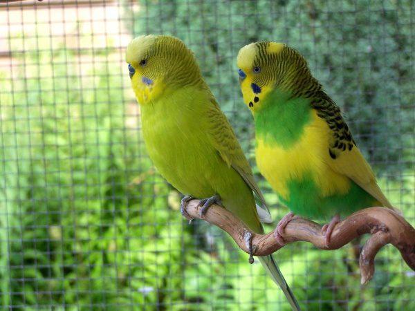 Andulky, vták v klietke