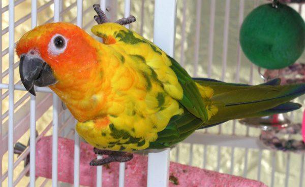 Farebný papagáj lori