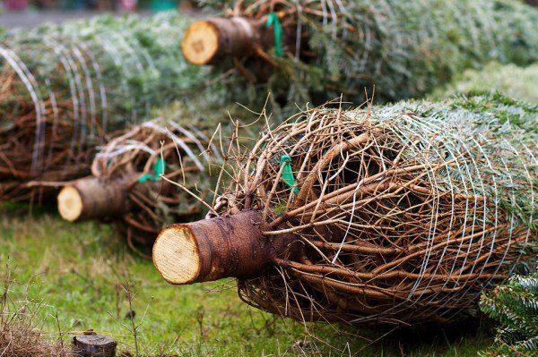 Stromčeky na Vianoce