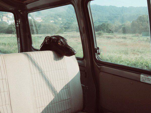 Pes auto cestovanie