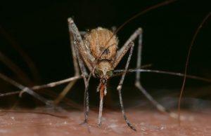 Komár cicia