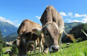Kravy a dobytok ako taký