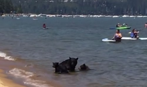 Medvede na Tahoe