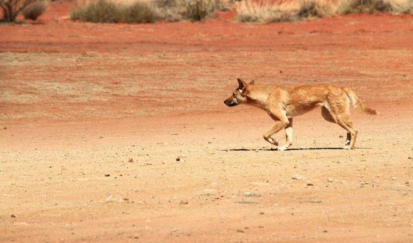 pes Dingo, Austrália