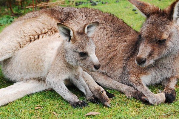 Kengura, či klokan, Austrália