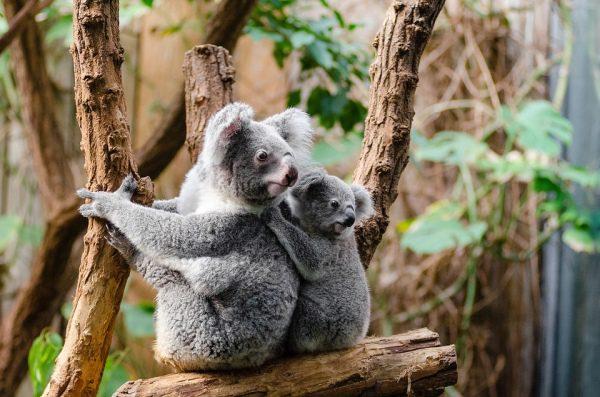 Medvedík koala, Austrália