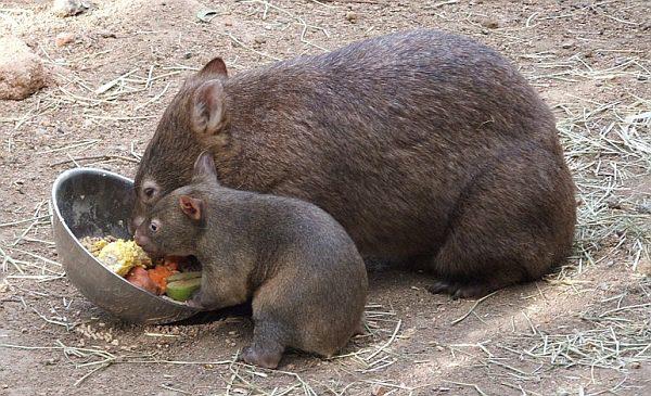 Vombat, Austrália