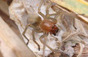 Jedovatý pavúk pradiarka pestrá