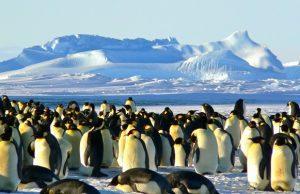 Tučniaky cisárske