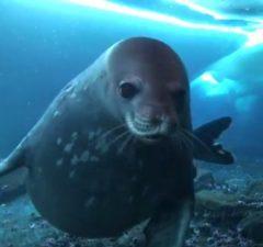 Tuleň Weddellow