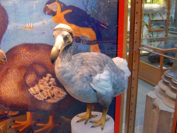 Hlúpy Dodo