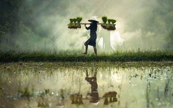 Ryža a ryžové pole