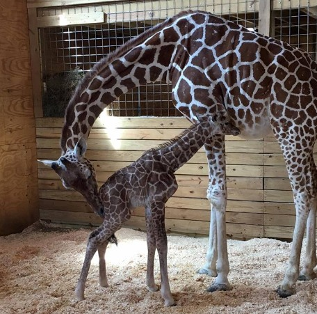 Žirafa April