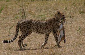 Gepard zoofág mäsožravec