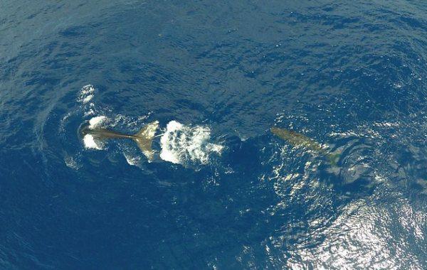 Vorvaň tuponosý, veľryba