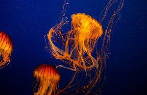 Jedovatá medúza, medúzy ako hrozba
