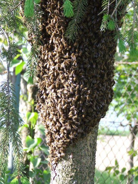 Roj včiel, včely na cestách