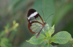 Mariposa kristal Greta oto, priehľadný motýľ