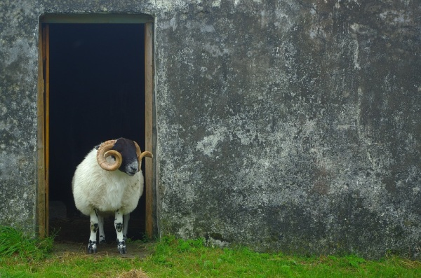 Škótsko a ovca, či skôr baran