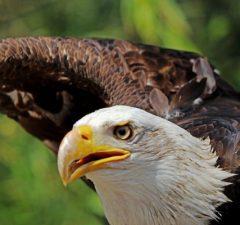 Orol bielohlavý americký