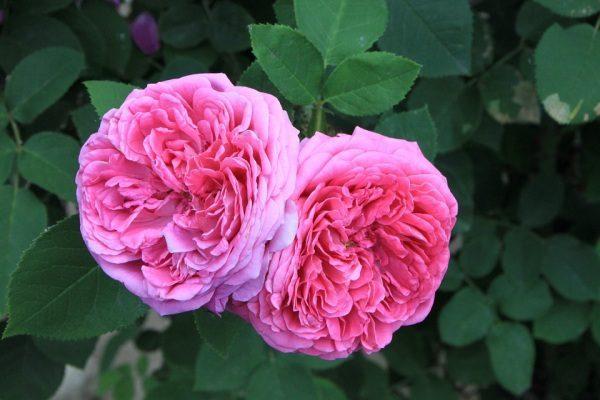 Rosa damascena ruža damascénska