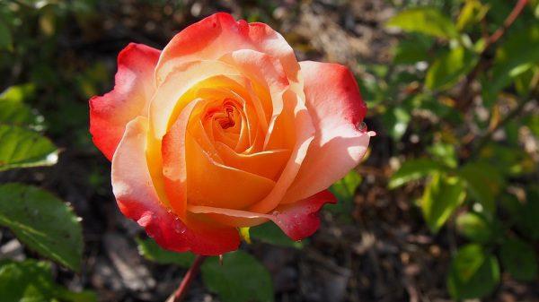 Ruža oranžová, kvet