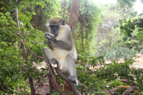 Ostrov Barbados a opica