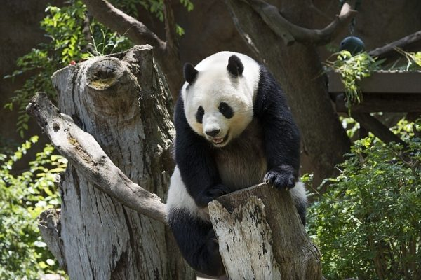 Panda Veľká, Panda Giant, zaujímavosti
