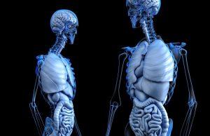 ľudské telo, kostra a orgány
