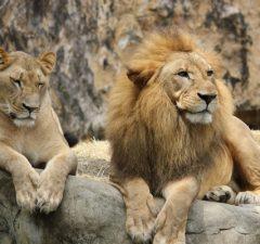 Lev púšťový