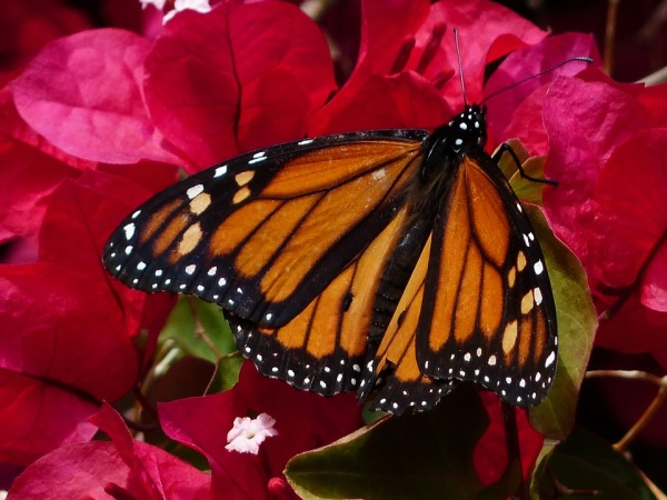 monarcha sťahovavý