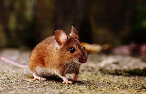 myš domová, hlodavca