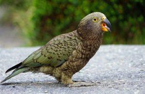 Nestor kea Nový Zéland