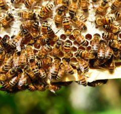 Včely plásty a ich propolis