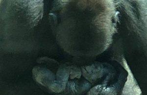 Gorila MOKA, Pittsburgh zoo