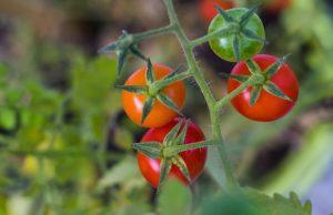 Rastliny, Rajčina ako mäsožravá rastlina