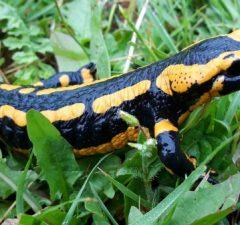 Salamandra škvrnitá, zaujímavosti z prírody