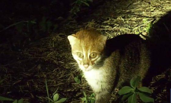 Mačka plochočelá