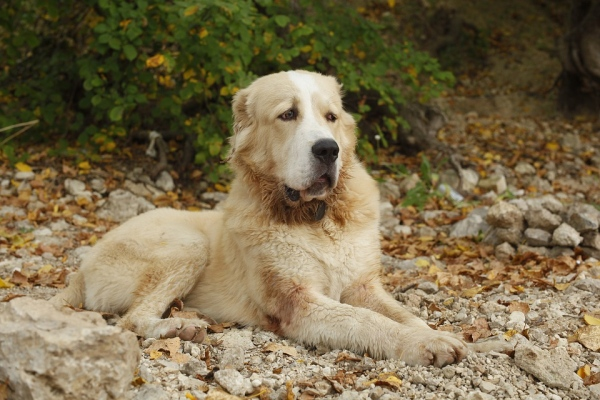 Turkmensky alabaj, plemená psov