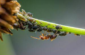 kyselina mravčia