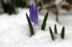 Marec kvety z pod snehu