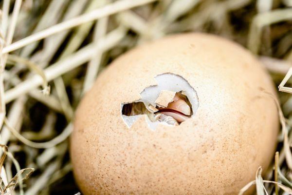 liahnutie z vajec, vtáky, dýchanie škrupine