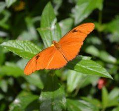 dryas iulia motýľ pije slzy