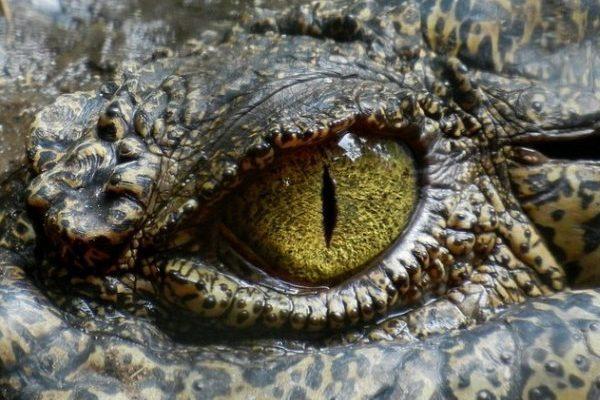 krokodílie slzy