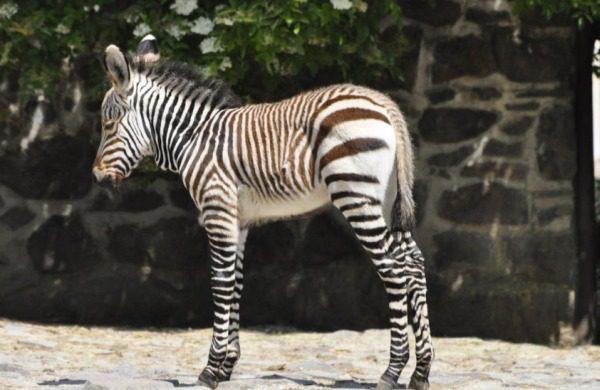 ZOO Bojnice zebra hartmannova